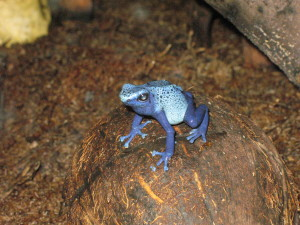 Buffalo Zoo - Blue Frog